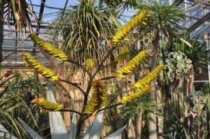 Marloths Aloe