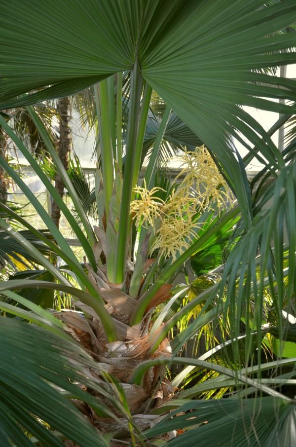 Livistona chinensis 0364-1 PH 160211b