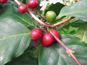 Coffea arabica kl