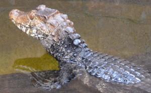 Paleosuchus palebrosus