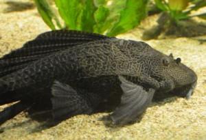 Pterygoplichthys gibbiceps_kl